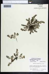 Chamaesyce prostrata herbarium specimen from Apalachicola, Franklin County in 1986 by Prof. Loran C Anderson.
