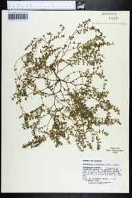 Chamaesyce prostrata herbarium specimen from Lake Miccosukee, Jefferson County in 1990 by Kathleen Craddock Burks.