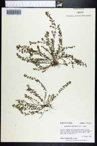 Chamaesyce prostrata herbarium specimen from Eglin Air Force Base, Okaloosa County in 1992 by Prof. Loran C Anderson.