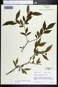 Sebastiania fruiticosa herbarium specimen from Mays Pond, Jefferson County in 1989 by Kathleen Craddock Burks.