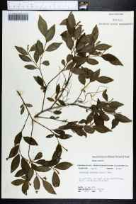 Sebastiania fruiticosa herbarium specimen from Miller Crossroads, Holmes County in 1974 by Robert K Godfrey.