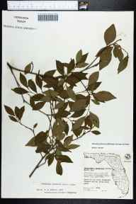 Sebastiania ligustrina herbarium specimen from Brooksville, Hernando County in 1961 by George R Cooley.