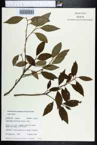 Ditrysinia fruticosa herbarium specimen from Bristol, Liberty County in 1982 by Robert K Godfrey.