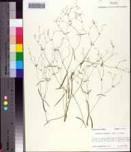 Euphorbia curtisii herbarium specimen from Wakulla County in 1987 by Prof. Loran C Anderson.