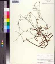 Euphorbia curtisii herbarium specimen from Franklin County in 1984 by Prof. Loran C Anderson.