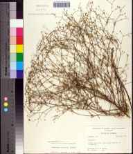 Euphorbia curtisii herbarium specimen from Youngstown, Bay County in 1960 by Robert K Godfrey.