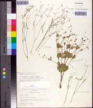 Euphorbia curtisii herbarium specimen from Sopchoppy, Wakulla County in 1969 by Robert K Godfrey.