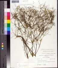 Euphorbia curtisii herbarium specimen from Bayhead, Bay County in 1962 by Robert K Godfrey.