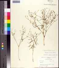 Euphorbia curtisii herbarium specimen from Green Cove Springs, Clay County in 1964 by Robert K Godfrey.