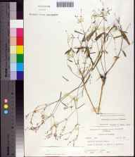 Euphorbia curtisii herbarium specimen from Woodville, Leon County in 1963.