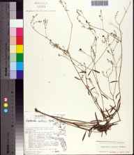 Euphorbia curtisii herbarium specimen from Niceville, Okaloosa County in 1975 by JoAnn Hansen.