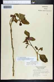 Poinsettia cyathophora herbarium specimen from Clearwater Beach, Pinellas County in 1964 by J Taylor.