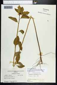 Poinsettia cyathophora herbarium specimen from Dunedin, Pinellas County in 1963 by Norlan C Henderson.