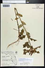 Poinsettia cyathophora herbarium specimen from North Naples, Collier County in 1967 by Olga Lakela.