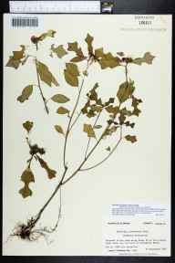 Poinsettia cyathophora herbarium specimen from Carrabelle Beach, Franklin County in 1983 by Prof. Loran C Anderson.
