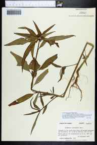 Poinsettia cyathophora herbarium specimen from Franklin County in 1983 by Prof. Loran C Anderson.