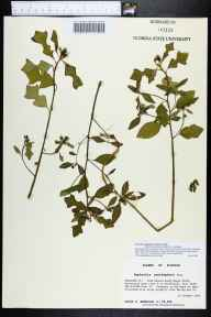 Poinsettia cyathophora herbarium specimen from Fred Gannon Rocky Bayou State Recreation Area, Okaloosa County in 1994 by Prof. Loran C Anderson.