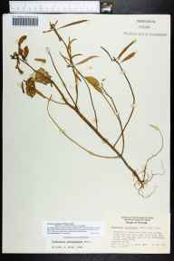 Poinsettia cyathophora herbarium specimen from Saint Pete Beach, Long Key, Pinellas County in 1960 by Daniel B Ward.