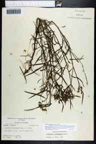 Poinsettia cyathophora herbarium specimen from Longboat Key, Sarasota County in 1971 by Robert K Godfrey.