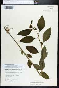 Poinsettia cyathophora herbarium specimen from Upper Key Largo, Monroe County in 1973 by Robert K Godfrey.