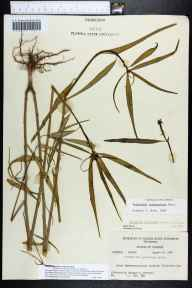 Euphorbia cyathophora herbarium specimen from Plantation Key, Monroe County in 1960 by Richard S Mitchell.