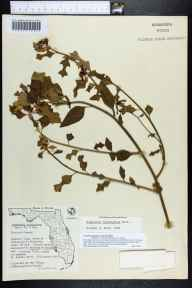 Poinsettia cyathophora herbarium specimen from Malabar Cape, Brevard County in 1964 by Olga Lakela.