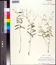 Euphorbia discoidalis herbarium specimen from Fred Gannon Rocky Bayou State Recreation Area, Okaloosa County in 1994 by Prof. Loran C Anderson.