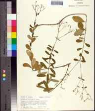 Euphorbia discoidalis herbarium specimen from Capps, Jefferson County in 1988 by Angus Gholson.