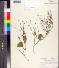 Euphorbia exserta herbarium specimen from Shell Hammock, Franklin County in 1985 by Prof. Loran C Anderson.