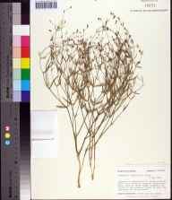 Euphorbia discoidalis herbarium specimen from Branford, Suwannee County in 1984 by R Simons.