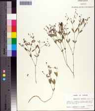 Euphorbia exserta herbarium specimen from Gas pipeline, Liberty County in 1993 by Prof. Loran C Anderson.