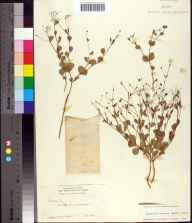 Euphorbia exserta herbarium specimen from Oak Ridge in 1928 by J K Small.