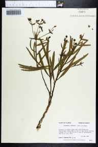 Euphorbia inundata herbarium specimen from Cypress Slough, Franklin County in 1988 by Prof. Loran C Anderson.