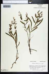 Euphorbia inundata herbarium specimen from Whiskey George Creek, Franklin County in 1987 by Prof. Loran C Anderson.