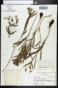 Euphorbia inundata herbarium specimen from Wakulla County in 1963 by Robert K Godfrey.