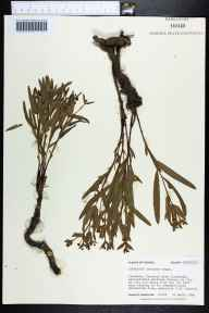 Euphorbia inundata herbarium specimen from Apalachicola National Forest, Franklin County in 1984 by Robert K Godfrey.