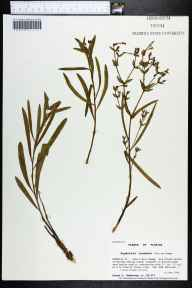Euphorbia inundata herbarium specimen from Tates Hell Swamp, Franklin County in 1998 by Prof. Loran C Anderson.