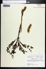 Euphorbia inundata herbarium specimen from Archbold, Highlands County in 1989 by Ann F Johnson.