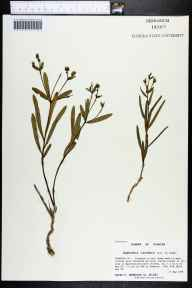 Euphorbia inundata herbarium specimen from Apalachicola National Forest, Franklin County in 1999 by Prof. Loran C Anderson.