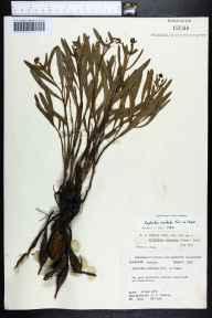 Euphorbia inundata herbarium specimen from Overstreet, Gulf County in 1978 by Robert K Godfrey.