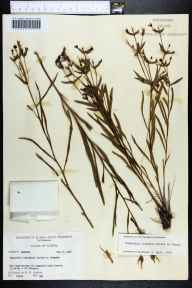 Euphorbia inundata herbarium specimen from Telogia, Liberty County in 1965 by Robert K Godfrey.