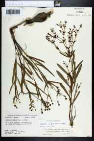 Euphorbia inundata herbarium specimen from Sumatra, Liberty County in 1978 by Robert K Godfrey.