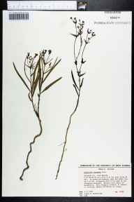 Euphorbia inundata herbarium specimen from Beulah, Escambia County in 1991 by James R Burkhalter.