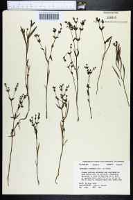Euphorbia inundata herbarium specimen from Bear Bay, Calhoun County in 1983 by John B Nelson.