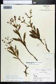 Euphorbia inundata herbarium specimen from Green Cove Springs, Clay County in 1964 by Robert K Godfrey.