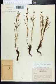 Euphorbia inundata herbarium specimen from Caloosa Experimental Range, Charlotte County in 1956 by William P Adams.