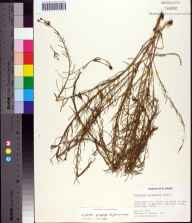 Euphorbia polyphylla herbarium specimen from Boca Raton Road, Palm Beach County in 1977 by Sidney McDaniel.