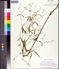 Euphorbia pubentissima herbarium specimen from Ralph E. Simmons State Forest, Nassau County in 2000 by Prof. Loran C Anderson.