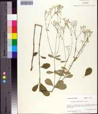Euphorbia pubentissima herbarium specimen from Tallahassee, Leon County in 1984 by Prof. Loran C Anderson.