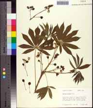 Manihot grahamii herbarium specimen from Tallahassee, Jefferson County in 1988 by Kathleen Craddock Burks.